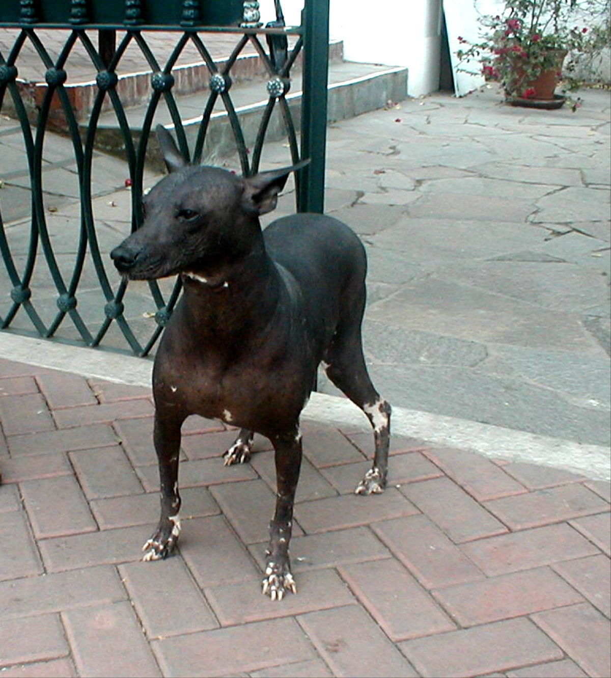 Перуанская голая собака гуляет фото