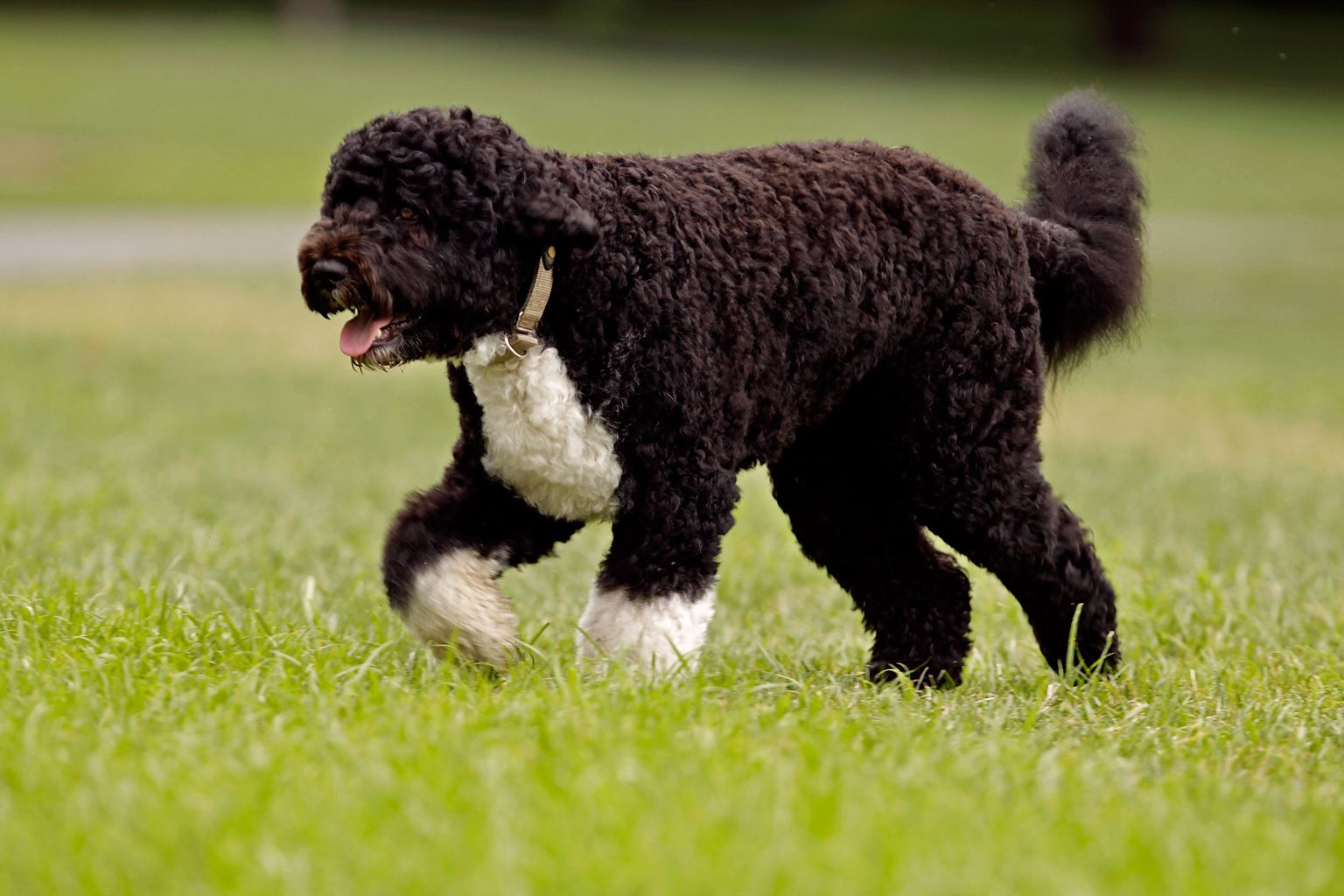 Walking Portuguese Water Dog  wallpaper