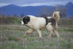 Walking Pyrenean Mastiff