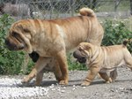 Walking Shar Pei dog and his baby