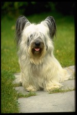 Walking Skye Terrier dog