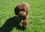 Walking Spanish Water Dog
