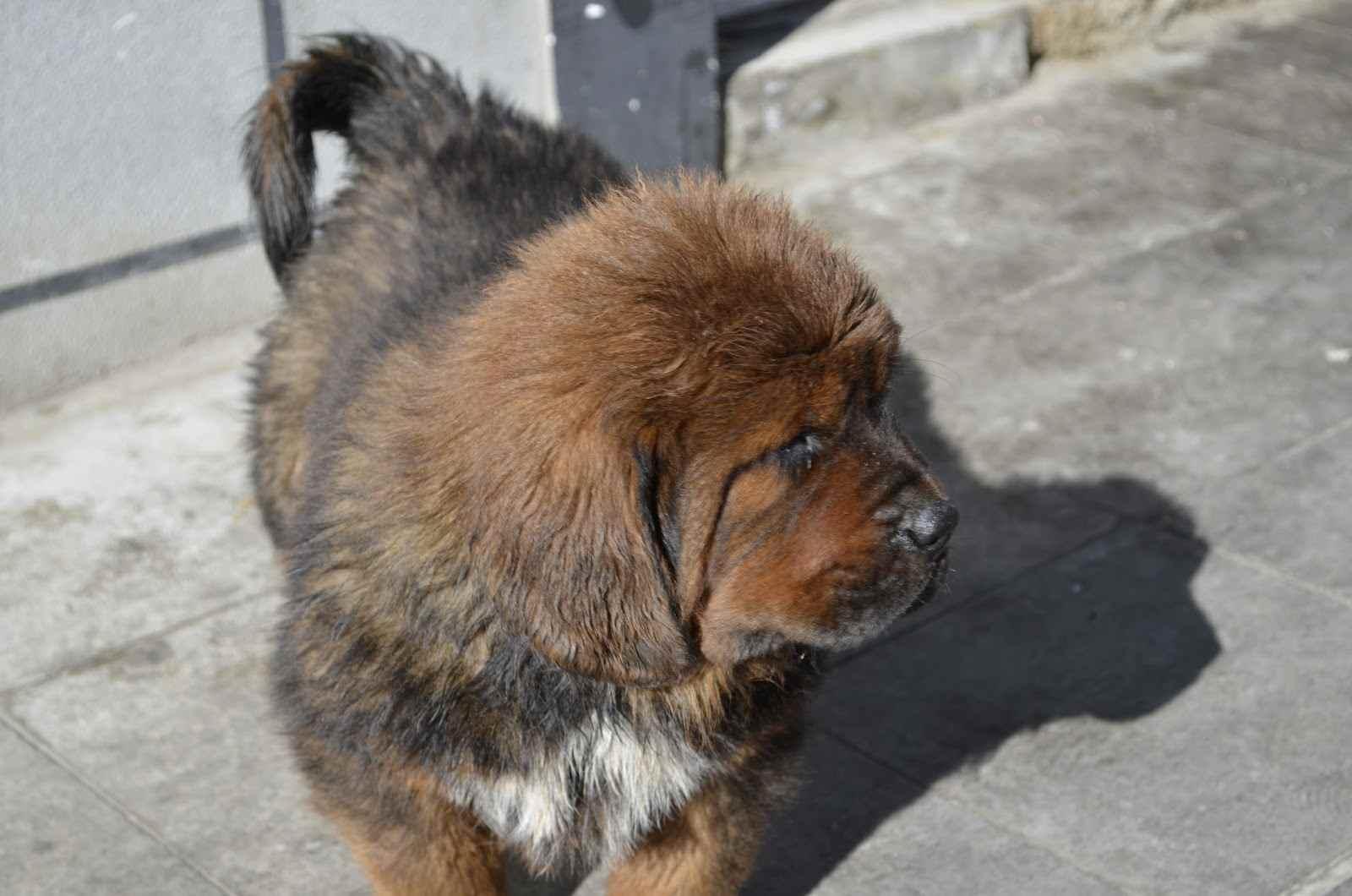 Щенок тибетского мастифа гуляет фото