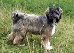 Walking Tibetan Terrier dog