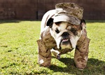 Walking Veterans Day Bulldog