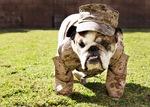 Walking Veterans Day Bulldog