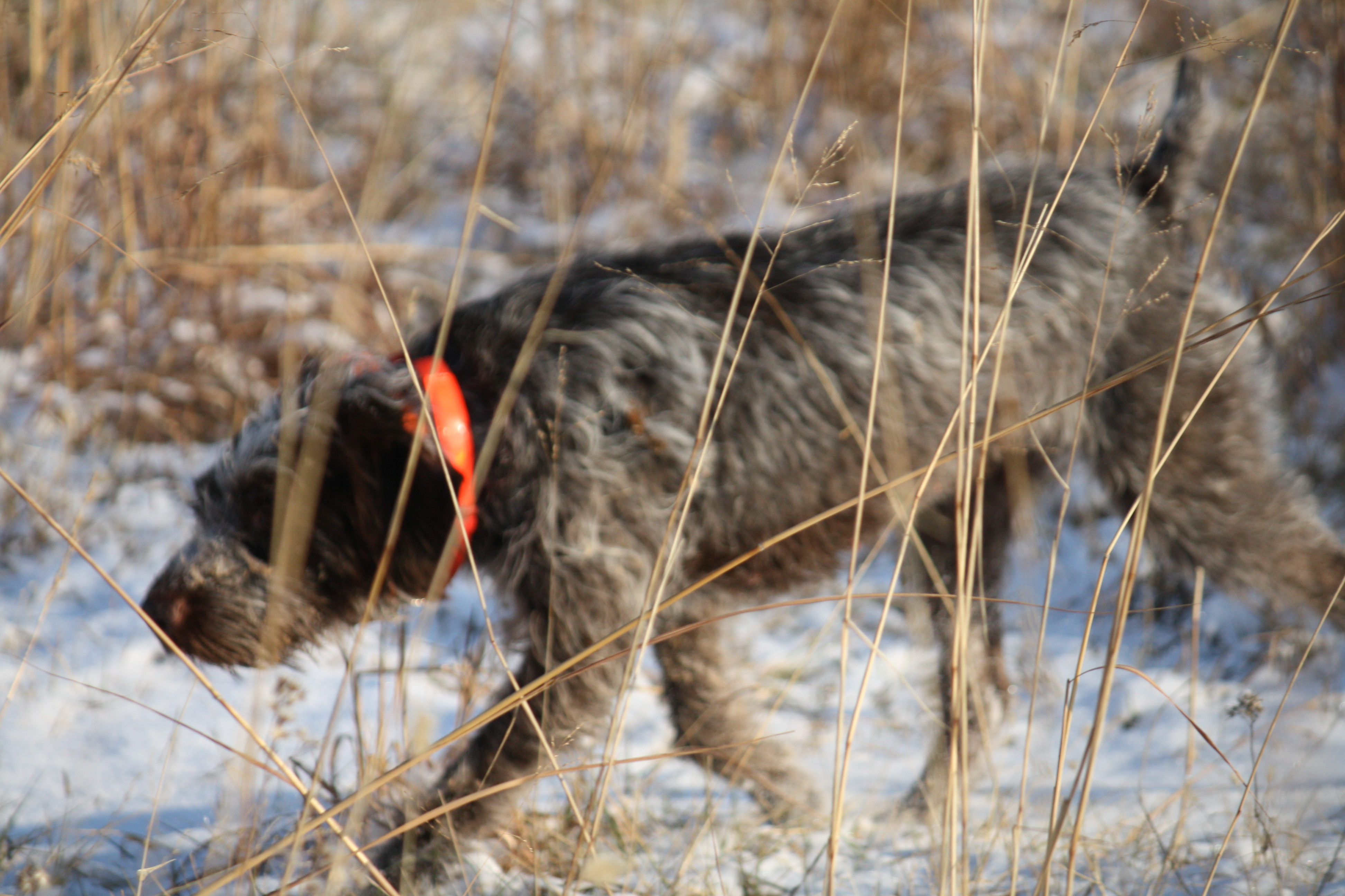 Walking Wirehaired Pointing Griffon dog wallpaper