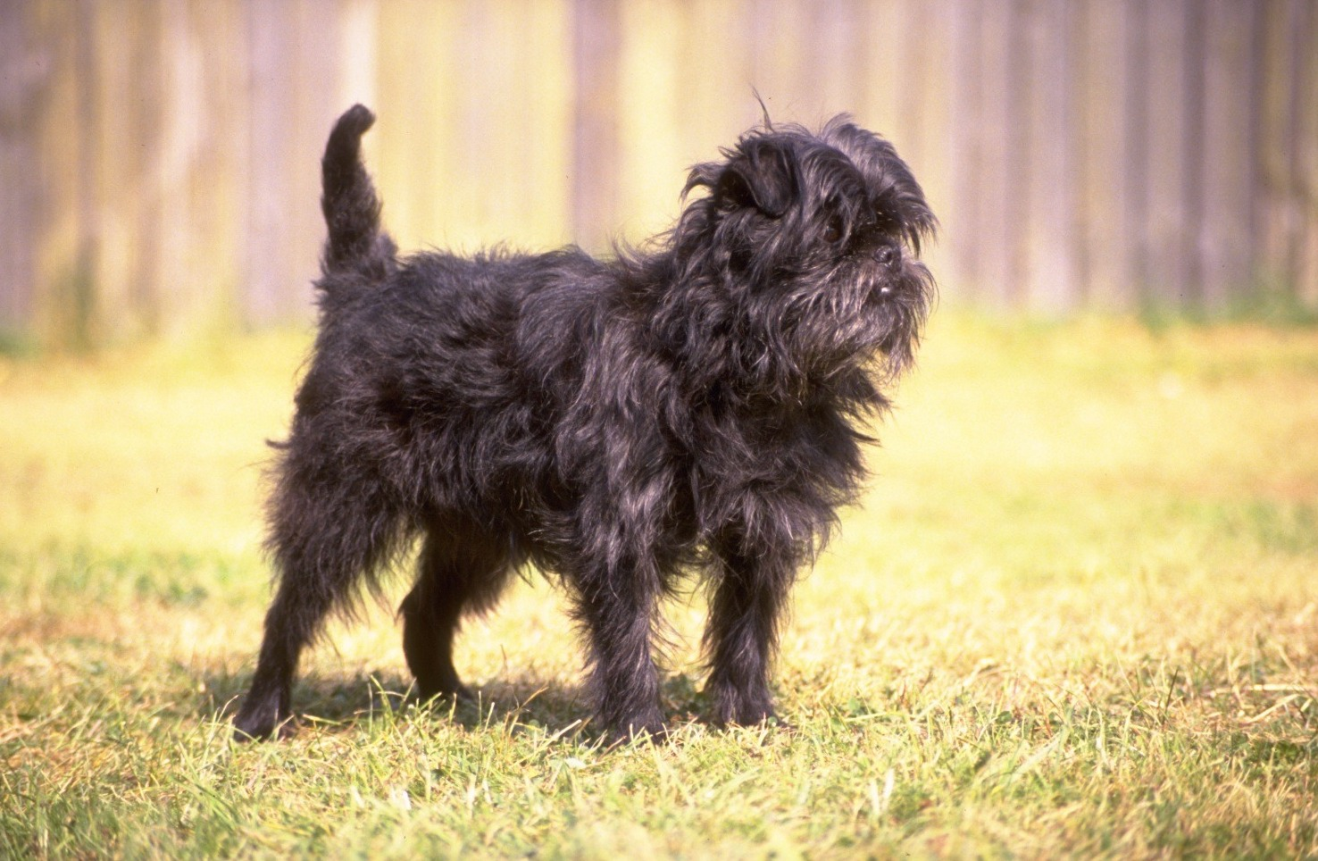 Affenpinscher in the forest wallpaper