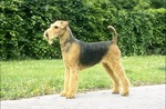 Airedale Terrier in the rack