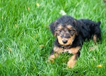Airedale Terriers puppy on the grass
