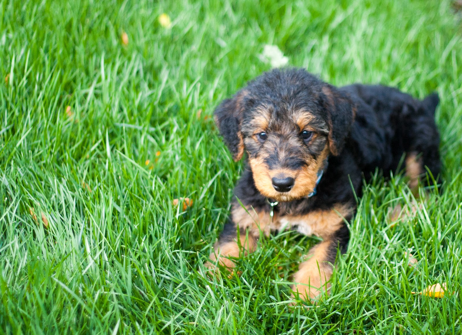 Airedale Terriers puppy on the grass wallpaper