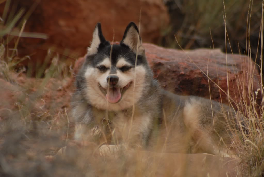 Alaskan Klee Kai dog in the desert wallpaper