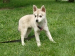 Alaskan Klee Kai playing on the grass