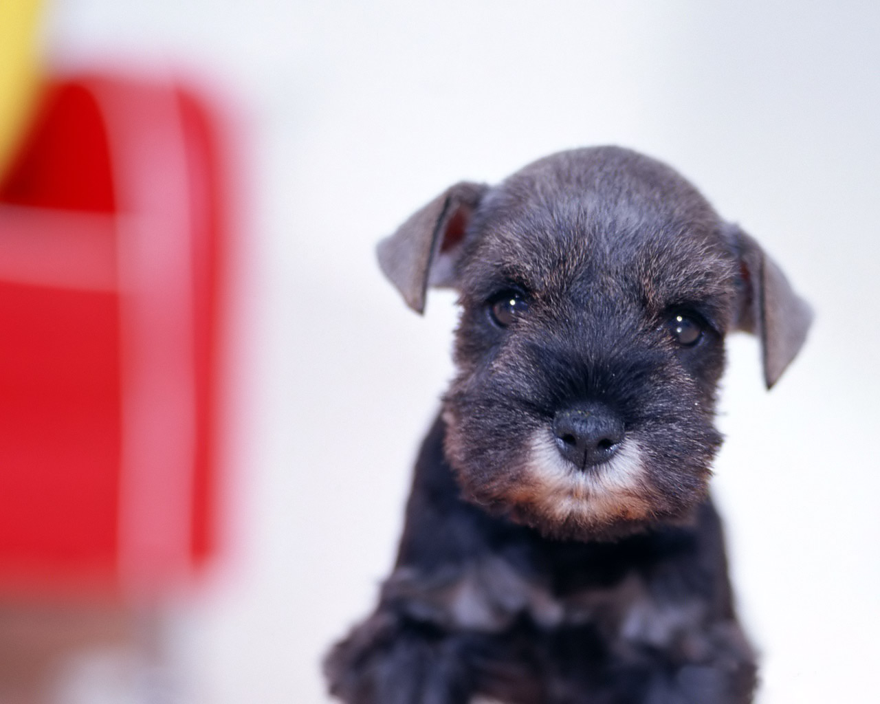 Cute Affenpinscher photo and wallpaper. Beautiful Cute Affenpinscher