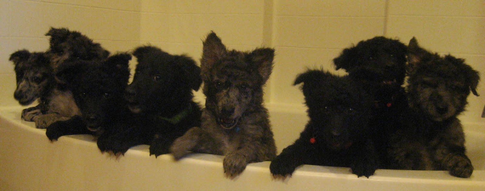 Щенки собаки муди моются фото