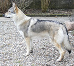 Watching Czechoslovak Wolfdog dog