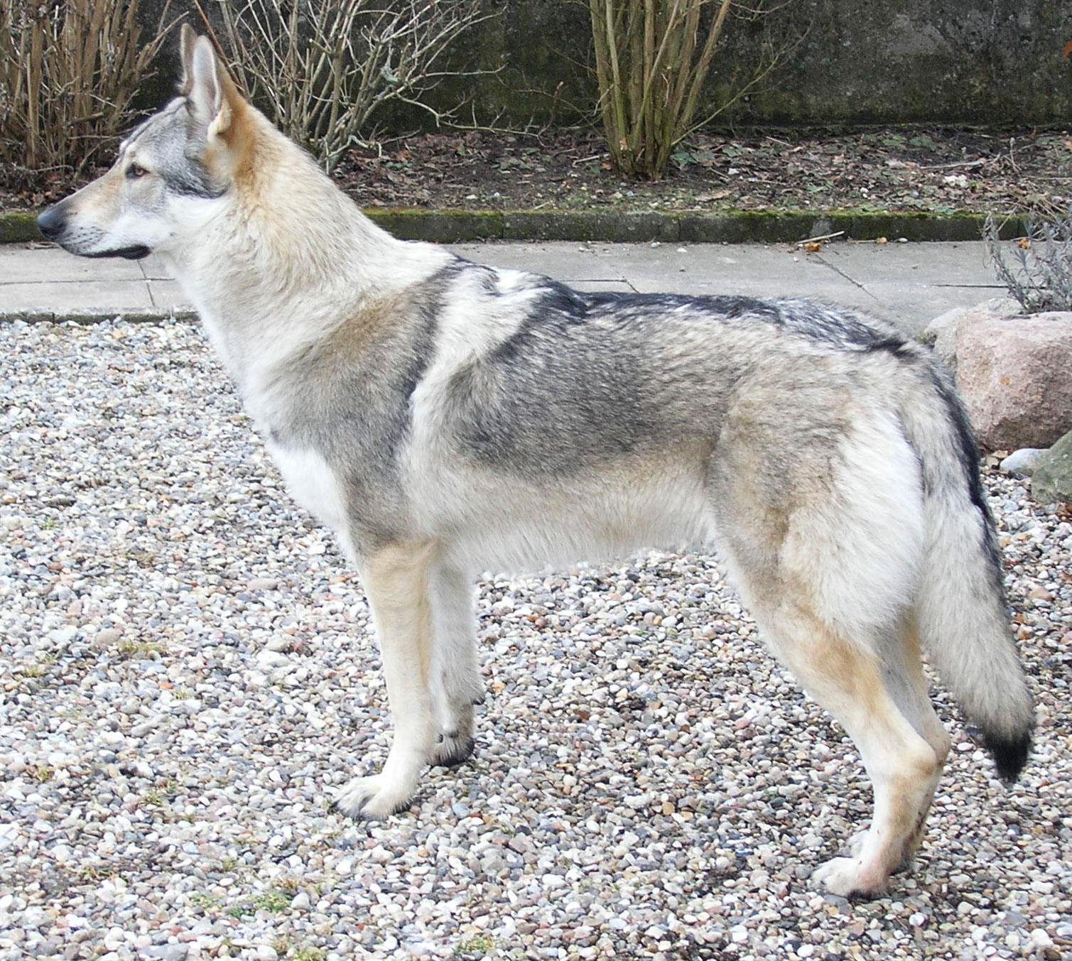Чехословацкая волчья собака наблюдает фото