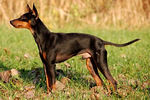Watching English Toy Terrier(Black Tan)