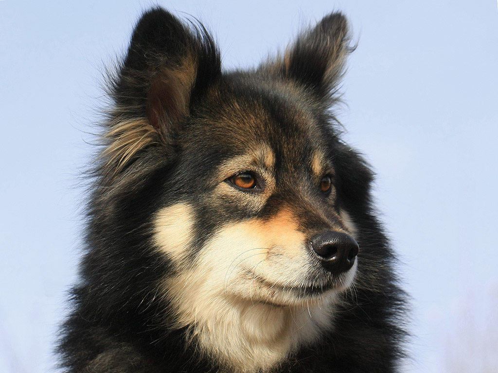 Watching Finnish Lapphund dog wallpaper