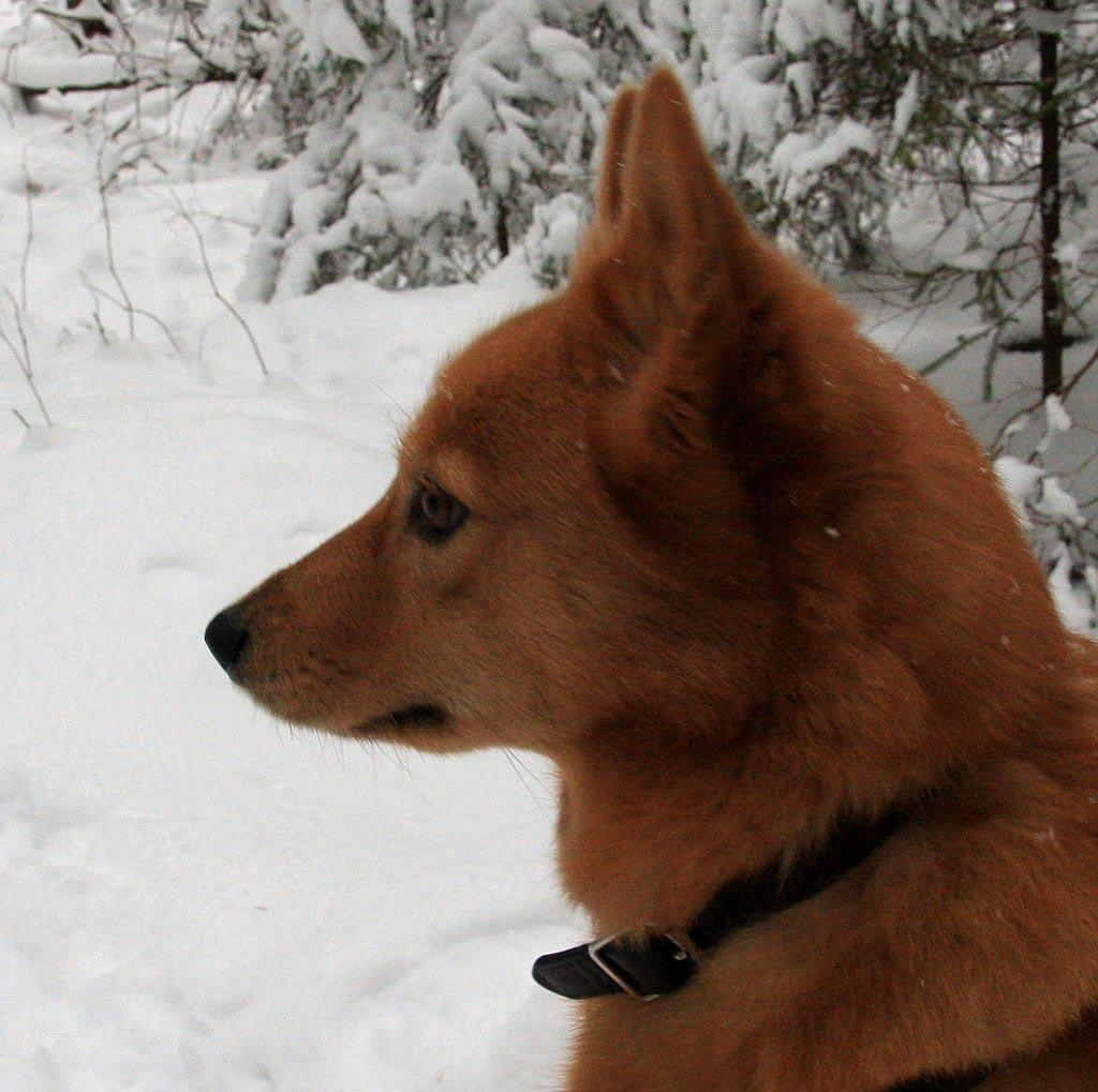 Watching Finnish Spitz dog wallpaper