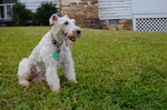 Watching Fox Terrier,Wire