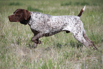Watching German Shorthaired Pointer dog