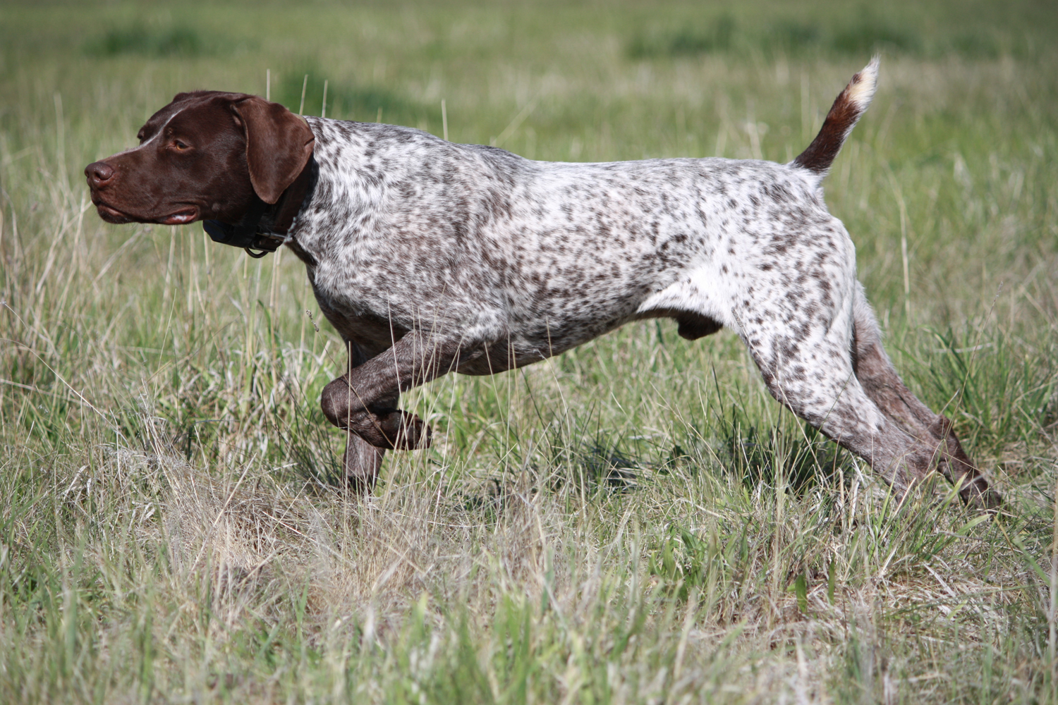 Watching German Shorthaired Pointer dog  wallpaper