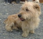 Watching Glen of Imaal Terrier dog
