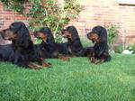 Watching Gordon Setter dogs