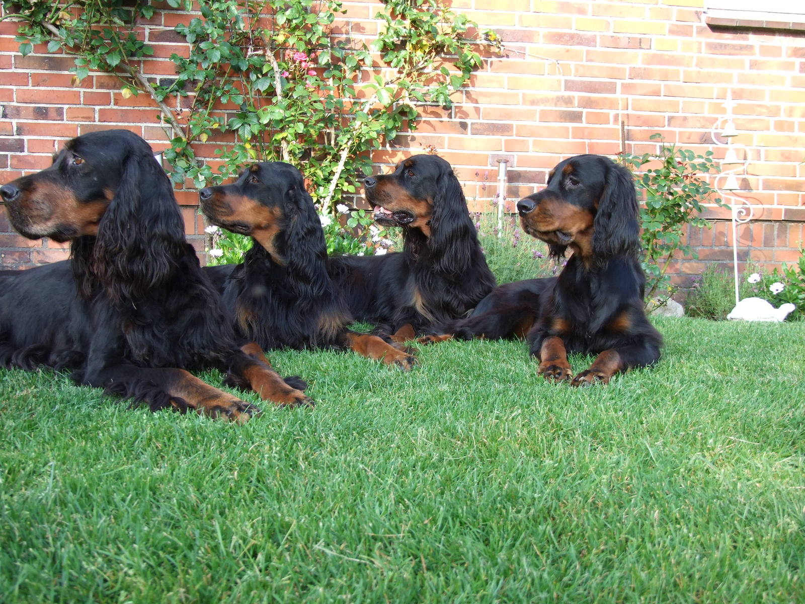 Watching Gordon Setter dogs wallpaper