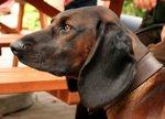 Watching Hanover Hound dog