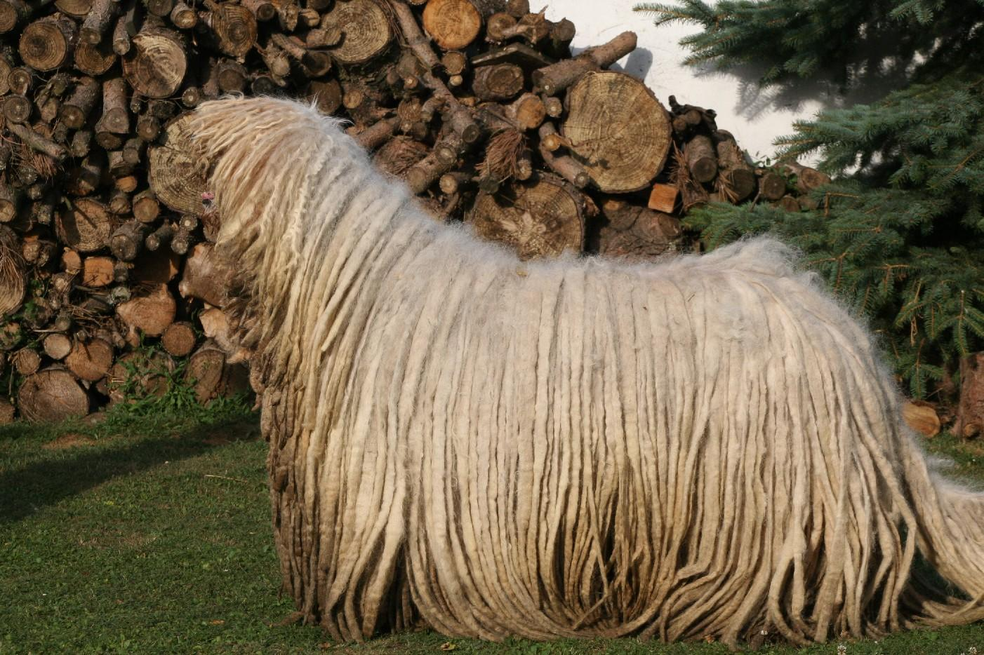 Watching Komondor dog wallpaper