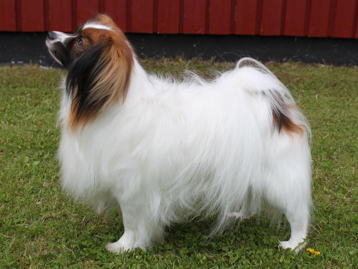 Собака фален смотрит фото