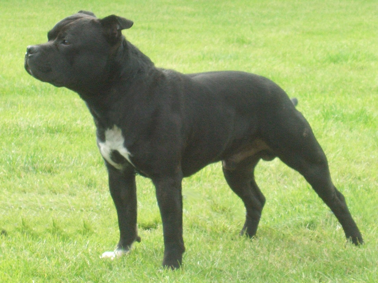Watching Staffordshire Bull Terrier wallpaper