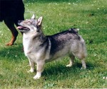 Watching Swedish Vallhund dog