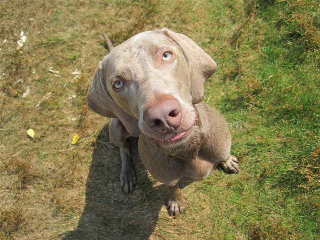 Weimaraner dog looking at you photo and wallpaper. Beautiful ...