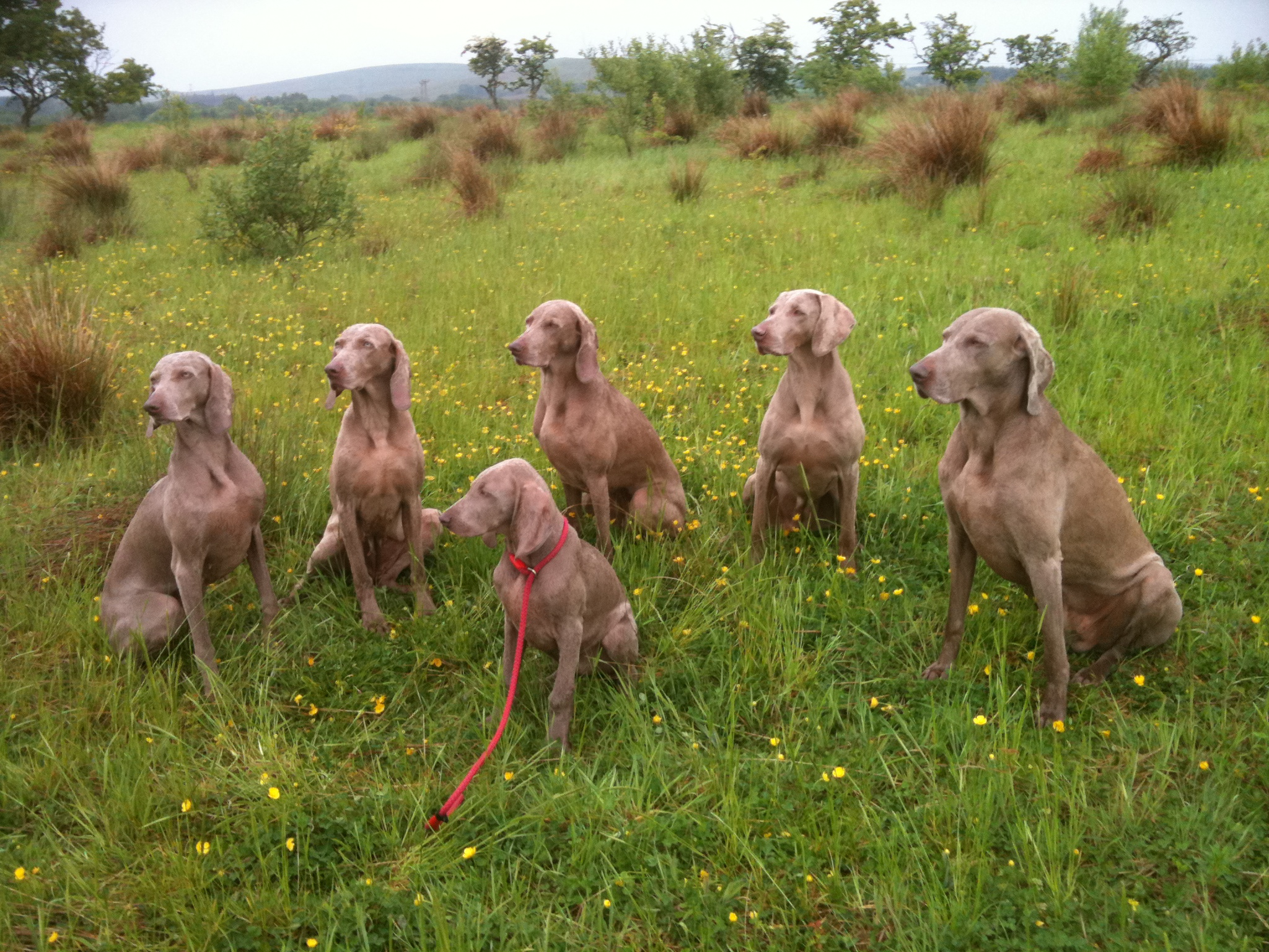 Weimaraner dogs photo and wallpaper. Beautiful Weimaraner dogs ...
