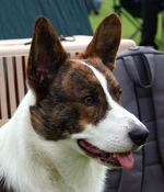 Welsh Corgi Cardigan dog face