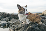 Welsh Corgi Cardigan dog on the rock