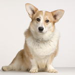 Welsh Corgi Cardigan dog portret