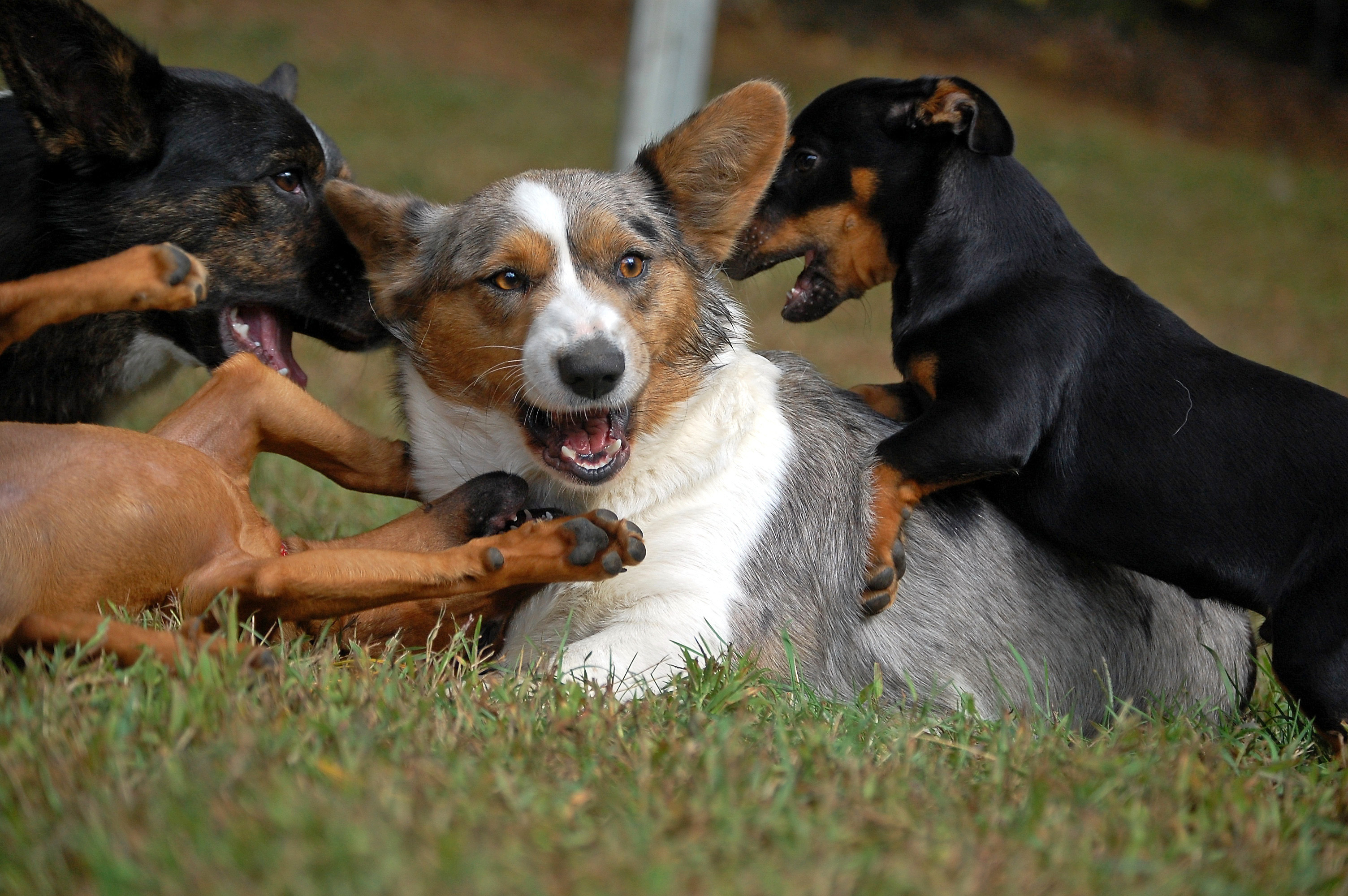 Welsh Corgi Cardigan playing with other dogs wallpaper