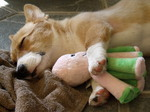 Welsh Corgi Pembroke dog sleeping with his toy