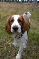 Welsh Springer Spaniel dog looking at camera
