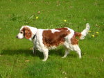 Welsh Springer Spaniel dog on the grass