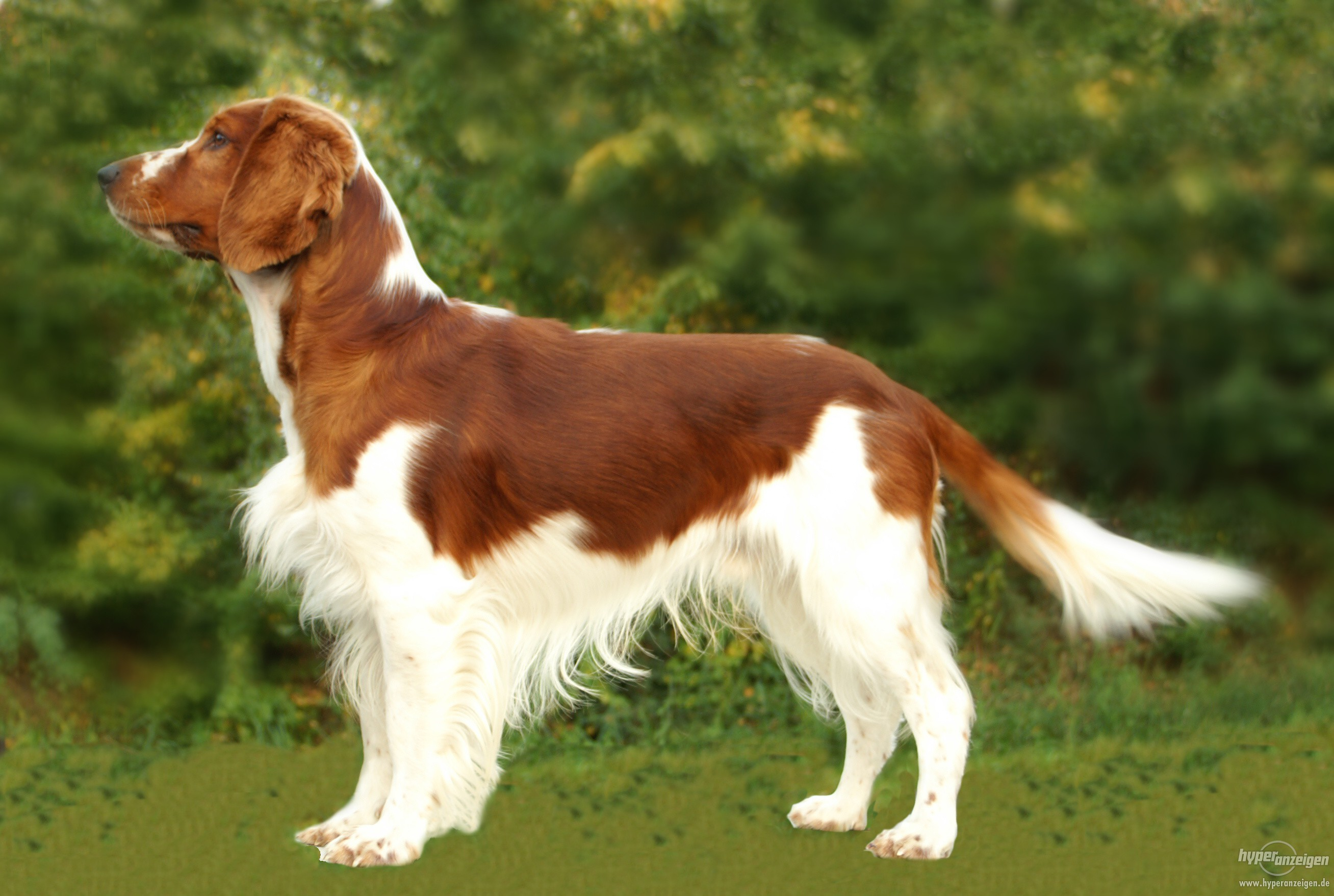 Add photos welsh springer spaniel dog in your blog