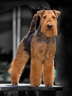Welsh Terrier on the dog show