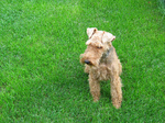 Welsh Terrier on the grass