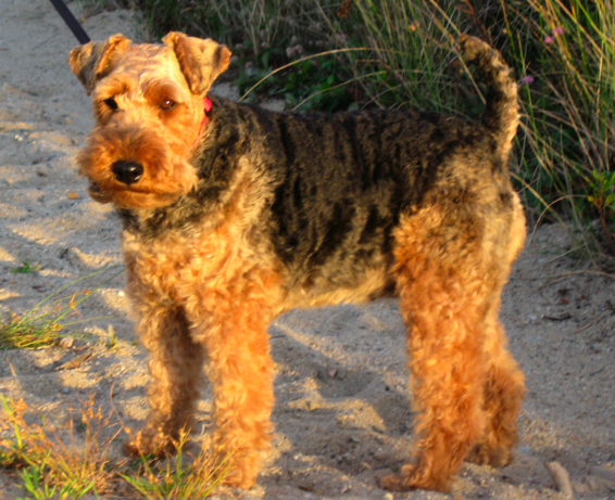 Welsh Terrier wallpaper