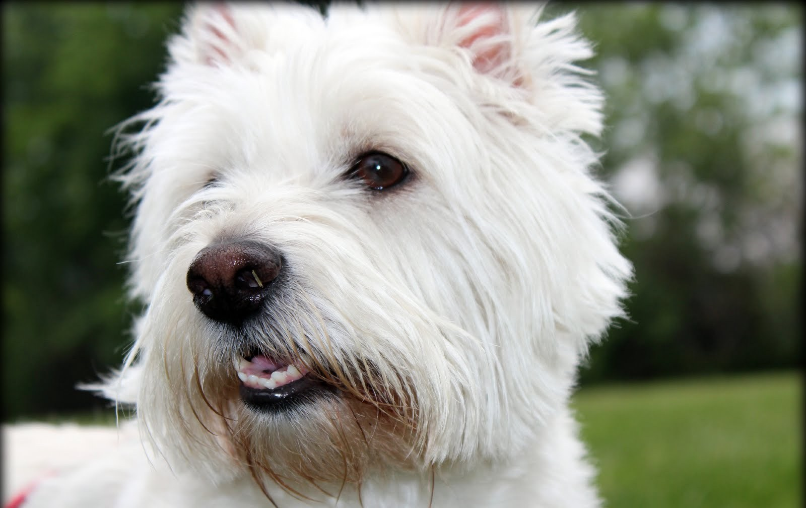 West Highland White Terrier dog face wallpaper