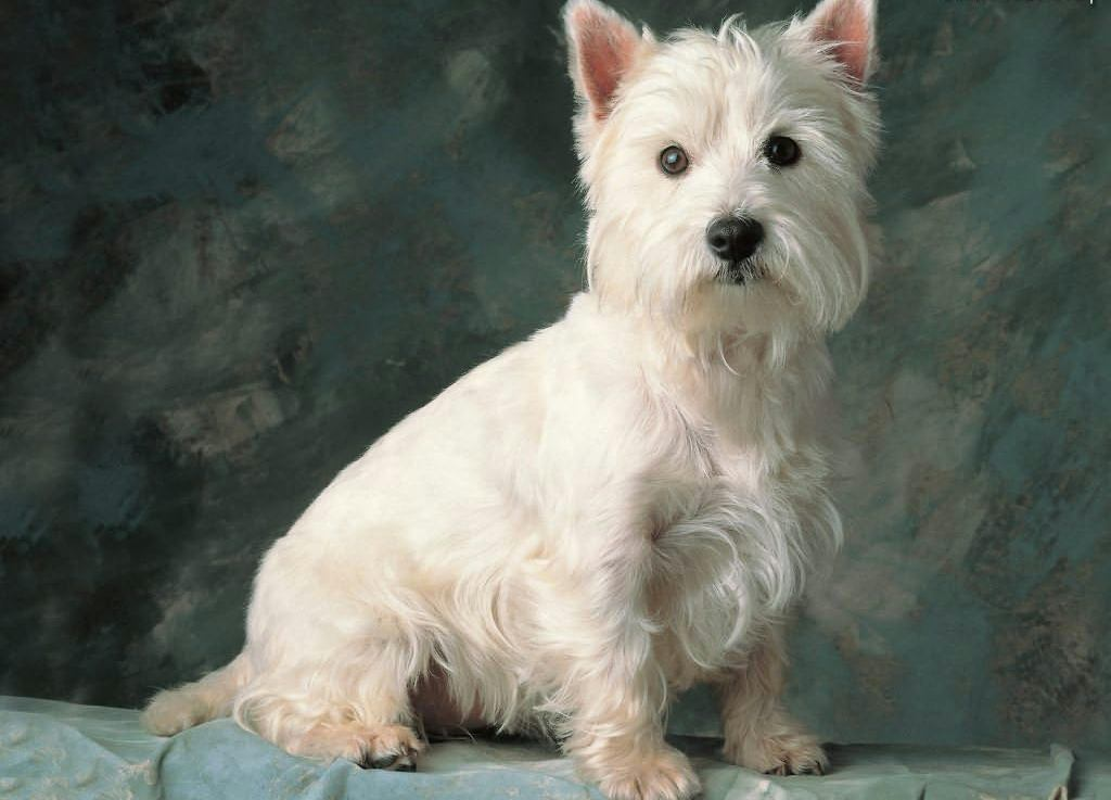 West Highland White Terrier portret wallpaper